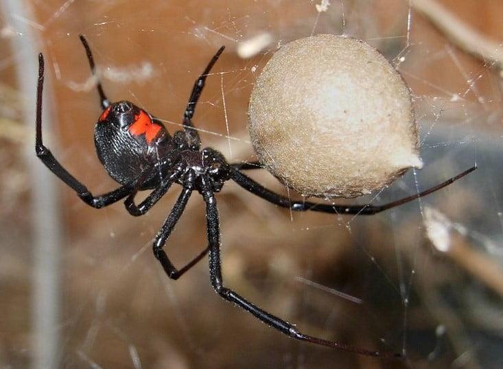 La mordedura de la araña viuda negra en los perros