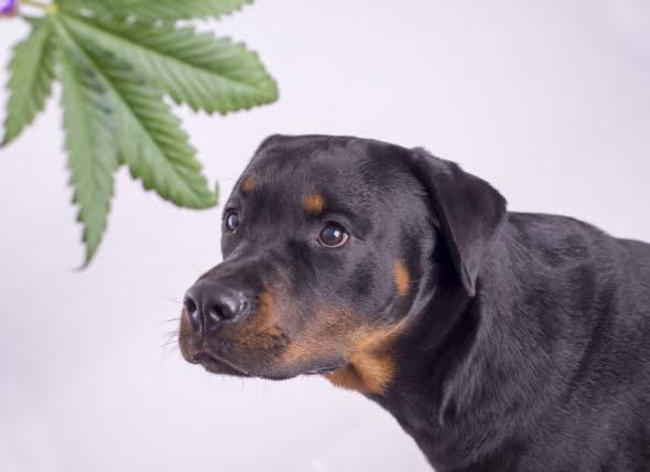 ¿Pueden los perros drogarse? Los efectos peligrosos de la marihuana en los perros