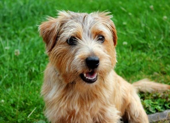 Infección bacteriana (Actinomicosis) en perros