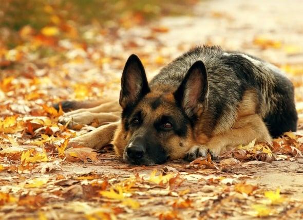 Abscesos en perros