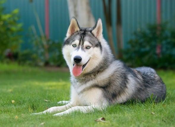 Lesión cerebral en perros