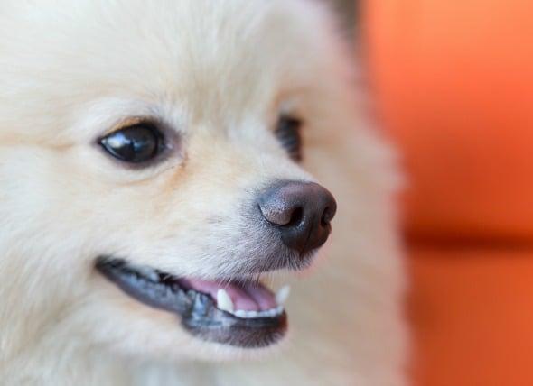 Infecciones bacterianas anaeróbicas en perros