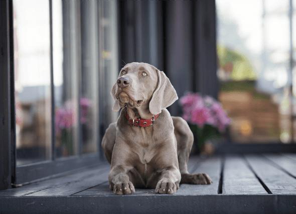 Anemia no regenerativa en perros