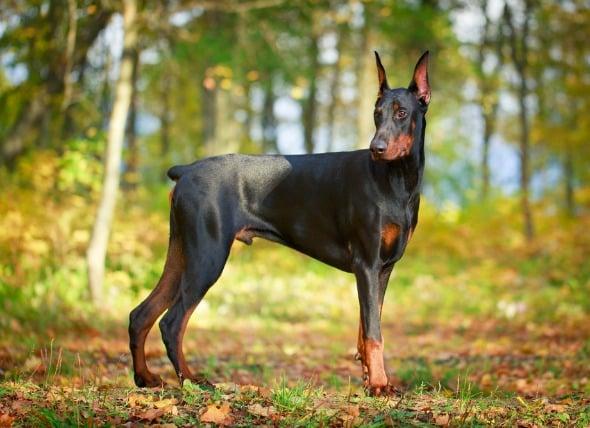 Inflamación de la vejiga con pólipos en perros
