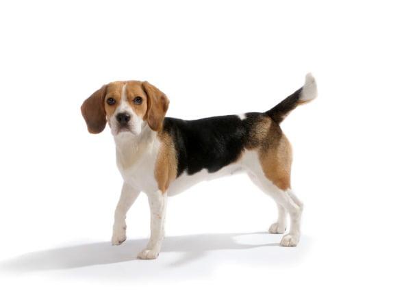 Exceso de dióxido de carbono en la sangre de los perros