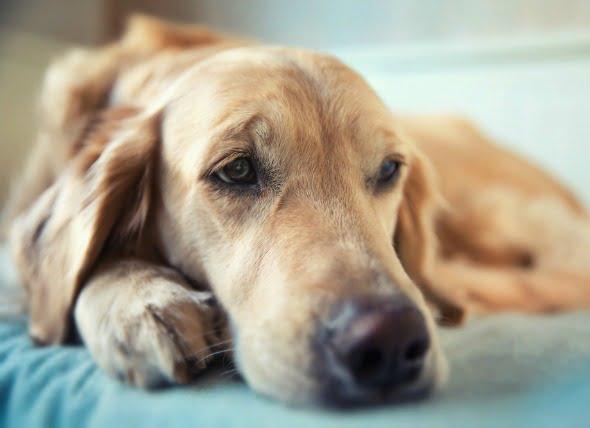 Infección ósea en perros
