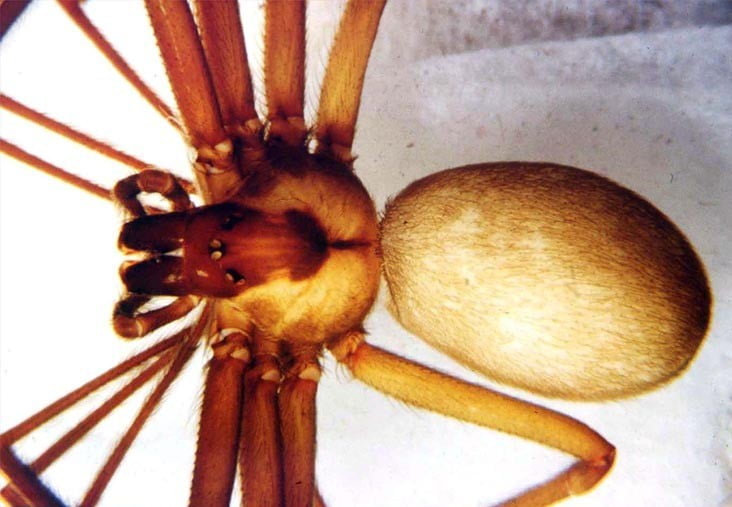 La mordedura de la araña reclusa parda se envenena en los perros