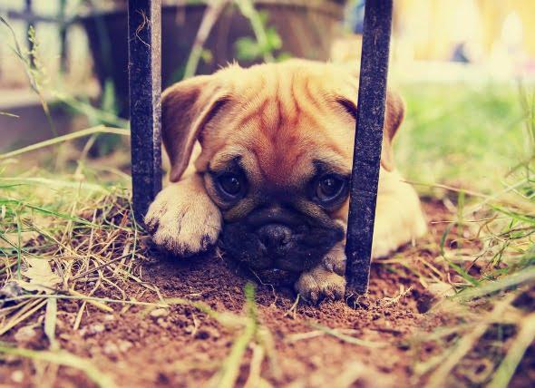Capilaridad en perros