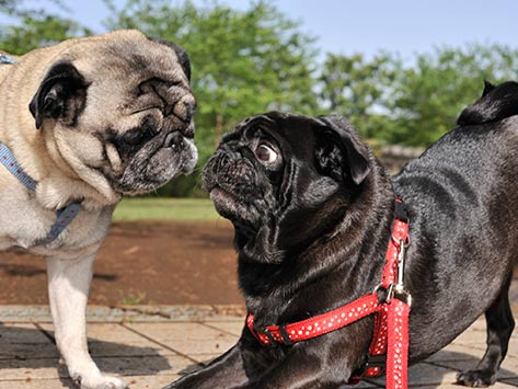 Breeding Timing in Dogs
