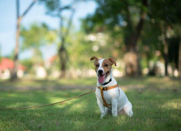 Trastorno cerebral debido a una enfermedad hepática en los perros