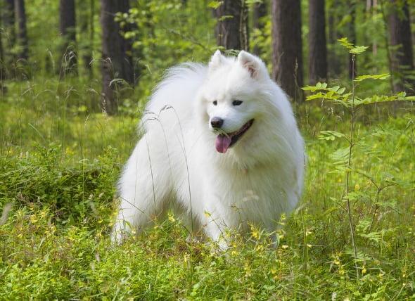 Defecto cardíaco congénito (estenosis pulmonar) en perros