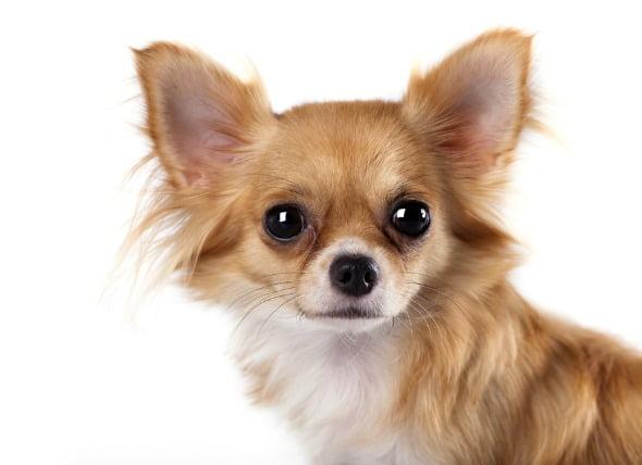 Degeneración del iris en el ojo en los perros