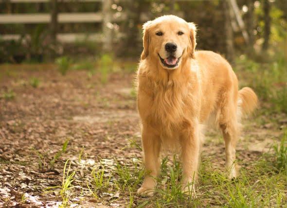 Exceso de glóbulos sanguíneos en el ojo en los perros