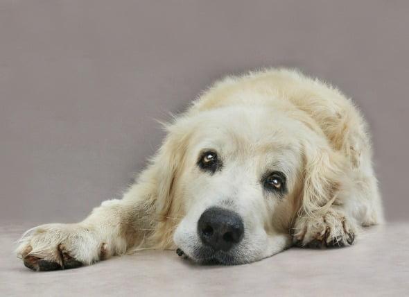 Demencia (Geriátrica) en Perros