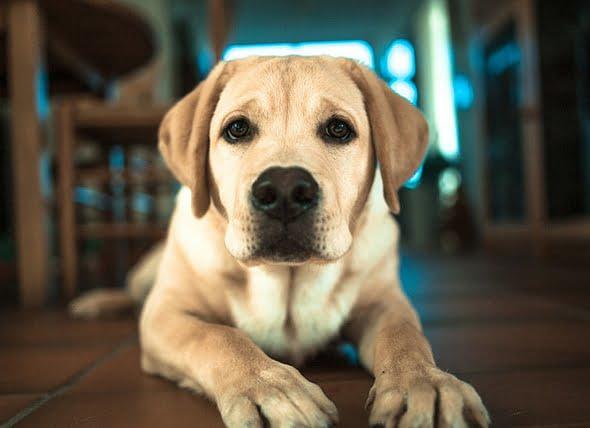 Exceso de cloruro en la sangre de los perros