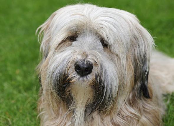 Lente ocular dislocada en perros