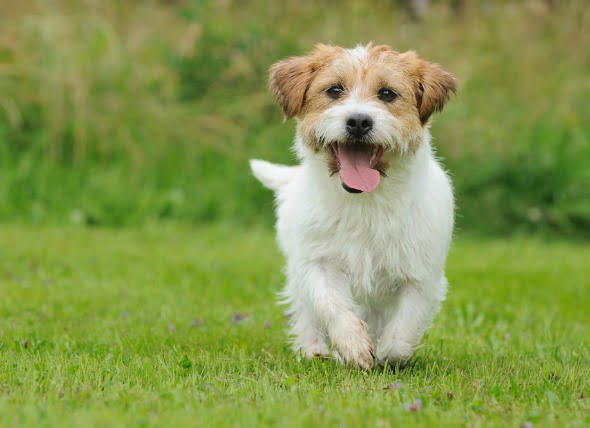 Síntomas del celo después de la esterilización en perros