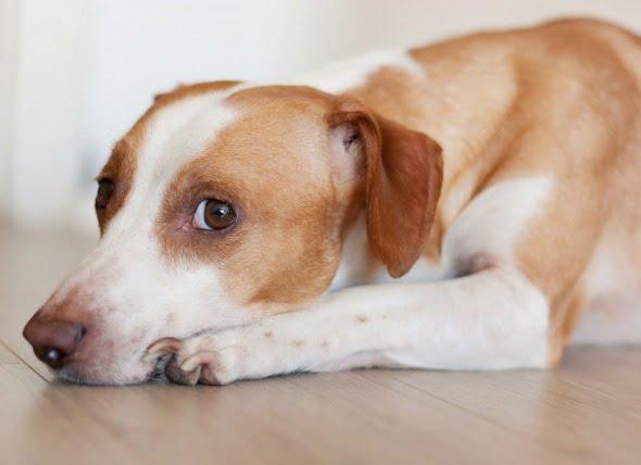 Bacterias excesivas en el intestino delgado en los perros