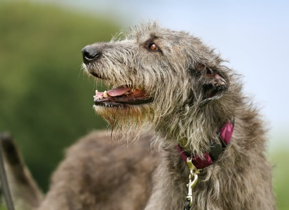 Agrandamiento del corazón (miocardiopatía dilatada) en perros