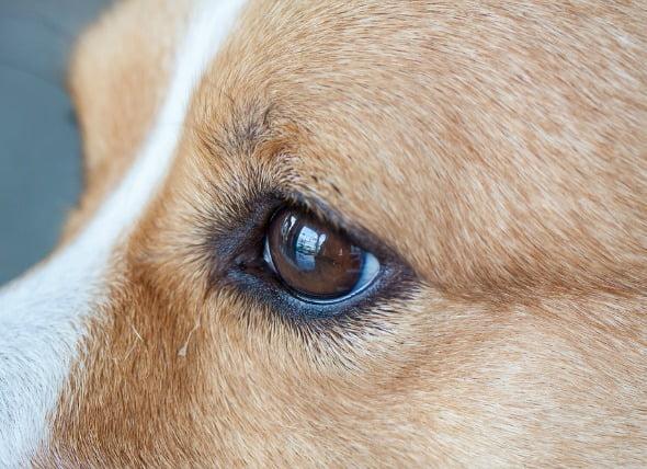 Defectos oculares (congénitos) en los perros
