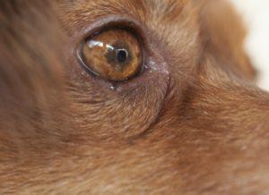 infección ocular pupila dilatada