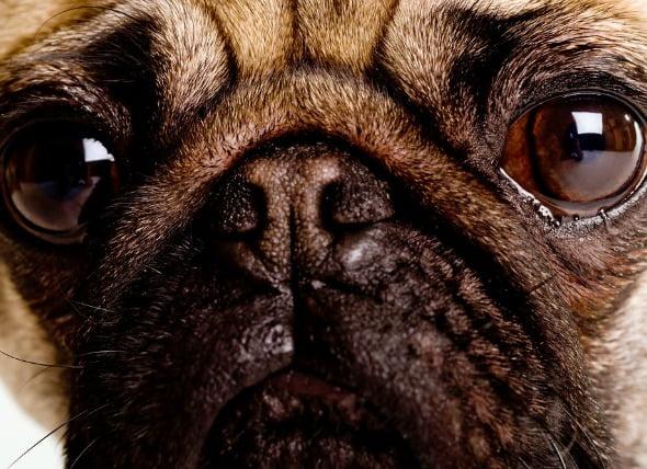 Inflamación de los ojos (uveítis anterior) en perros