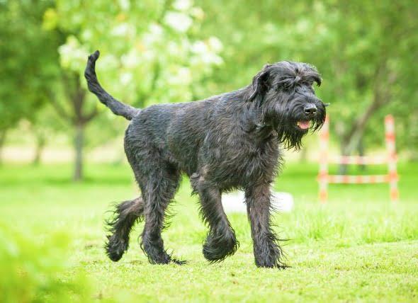 Falta de absorción de la vitamina B12 en los perros