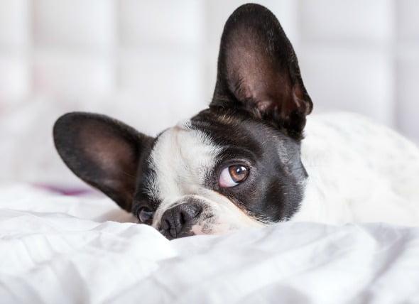Cáncer de Oído en Perros