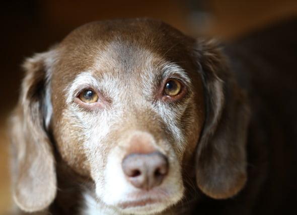 7 Señales de demencia en los perros