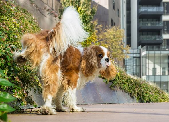 Aumento de la orina y la sed en los perros