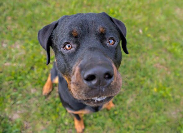 Colesterol alto en los perros
