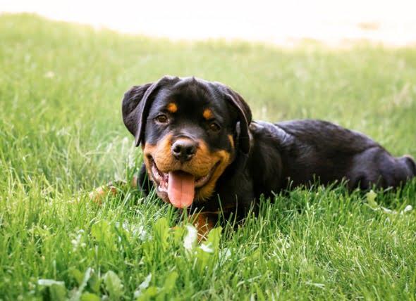 Cómo tratar los gusanos del corazón en los perros