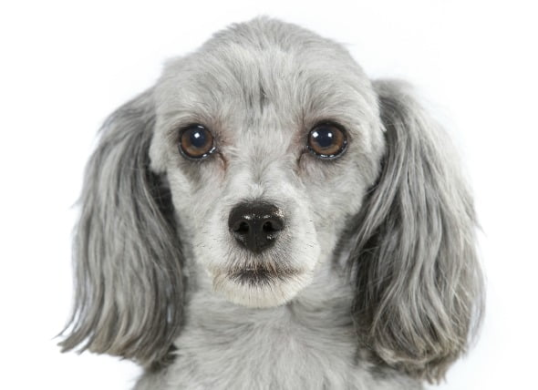 El glaucoma en los perros