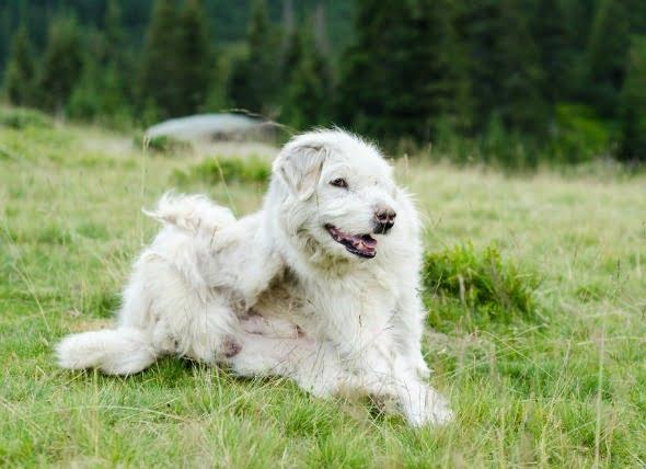 El picor, el deseo de rascarse, masticar o lamer causando la inflamación de la piel en los perros