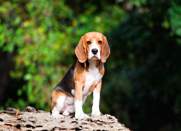Enfermedad del disco intervertebral (IVDD) en perros – Disco deslizado