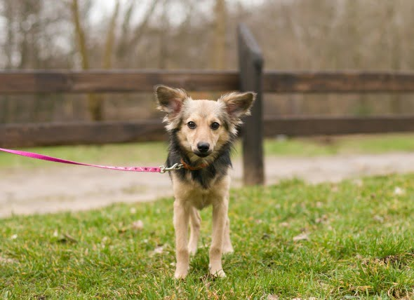 Hipertiroidismo en perros