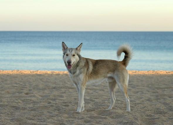 Incapacidad de protruir o retraer el pene en los perros