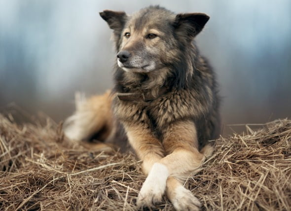 Infección por hongos (Aspergilosis) en perros
