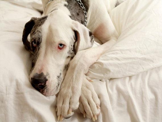 Infección por hongos (Malassezia pahydermatis) de la piel de los perros