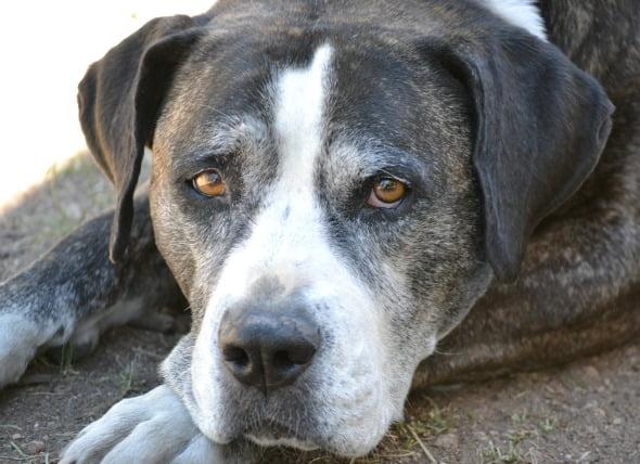 Infección por hongos (Neumocistosis) del pulmón en perros