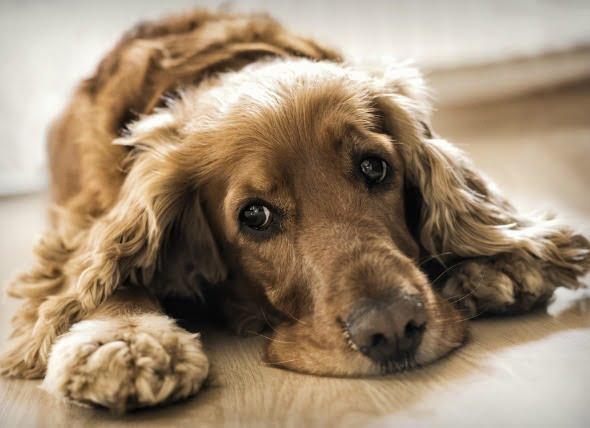 Inflamación de los vasos sanguíneos del cuerpo de los perros