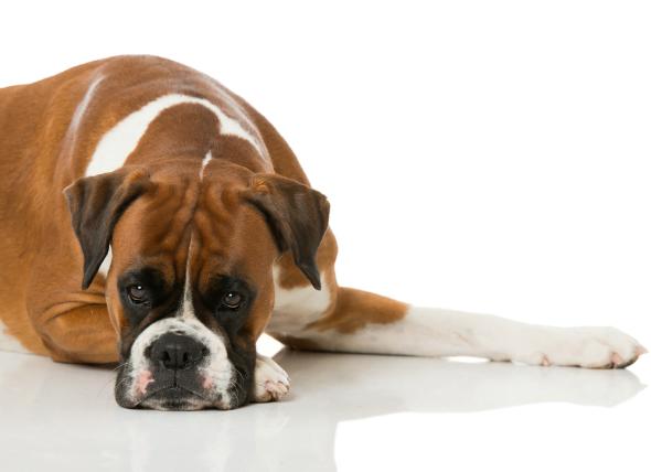 Insuficiencia cardíaca, congestión (lado derecho) en perros