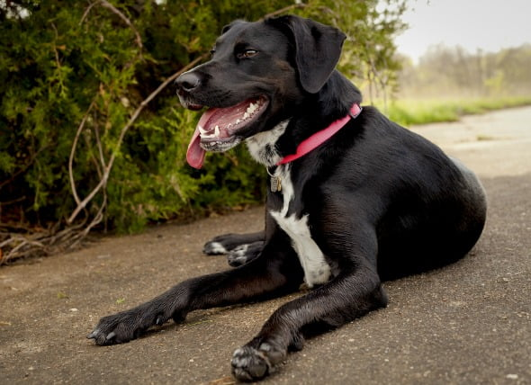 Insuficiencia cardíaca, congestión (lado izquierdo) en perros