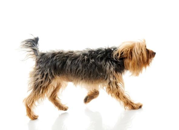 La descoordinación de las piernas de los perros