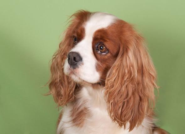La infertilidad en las hembras de los perros
