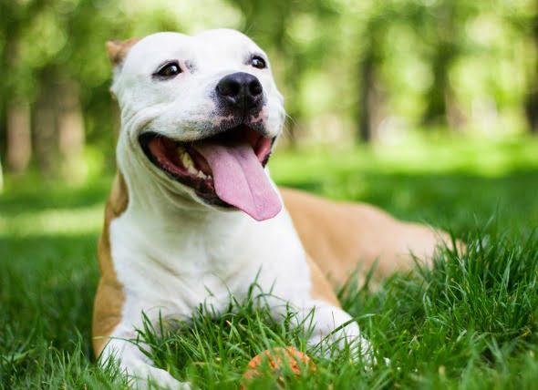 Líquido en el pecho (efusión pleural) en perros