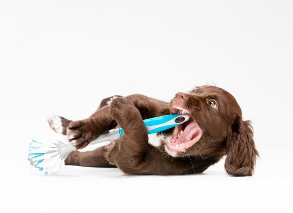 Objetos extraños atascados en la garganta de los perros