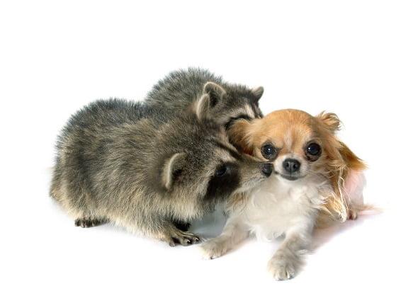 Parásito de los platelmintos (Heterobilharzia) en los perros