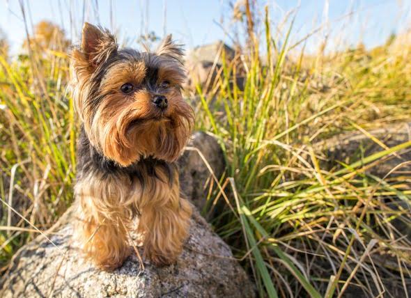 Pérdida de proteínas intestinales en perros