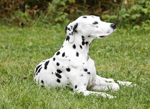 Temblores musculares involuntarios en los perros
